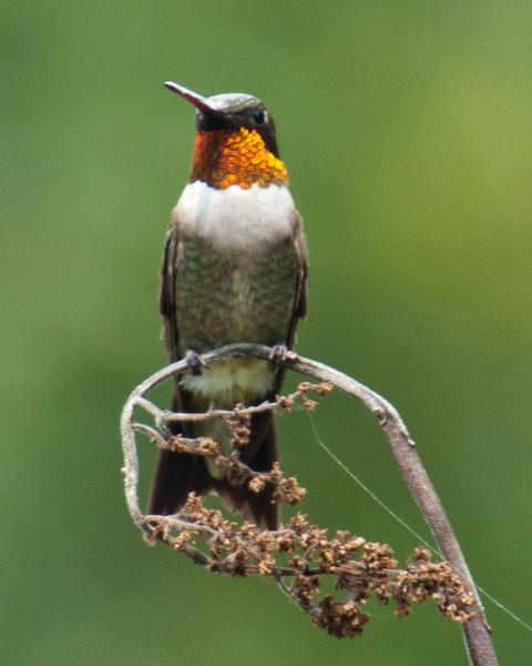 Hummingbird - Ruby Throated Hummingbird (m) - C8103