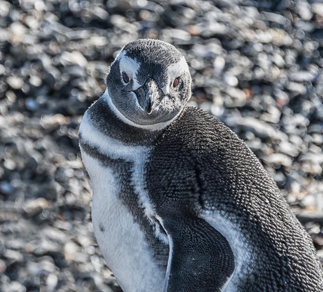 Penguins_Magellen_Ushuaia-6.jpg