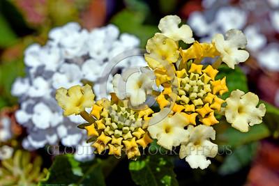 Latiana Lemon Cream Flower Pictures