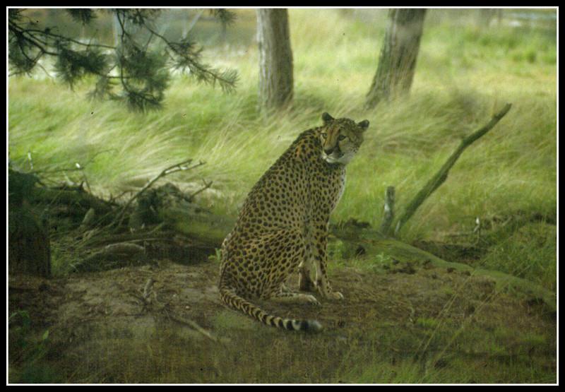 OL 365 ghepardo.jpg