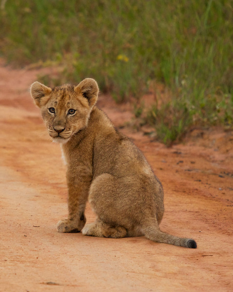 Lion Cub.jpg