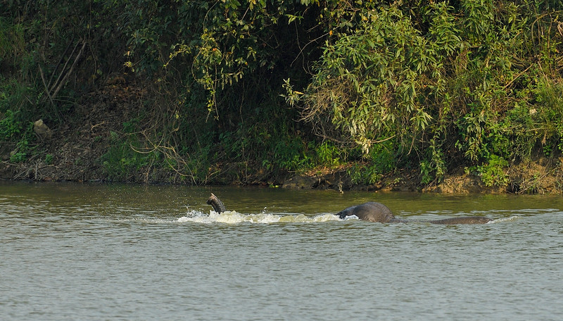 Elephant-swimming-across-lake-kaziranga-5-2.jpg