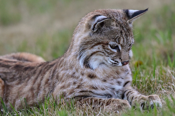 5-13-16 Lazy Bobcat Part II