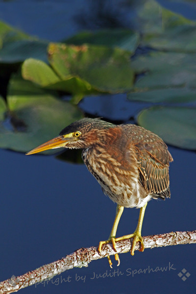 """Green Heron ~ This adult Green Heron was observed watching over its young, who were out of the nest and almost full-sized, flying and perching, but with bits of """"baby fuzz"""" showing through their plumage."""