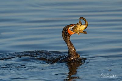 Cormorants and Darters