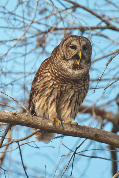 Owl - Barred - hooting - Lake Toho - Kissimmee, FL - 02