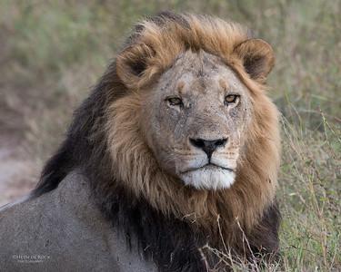 Lion (Panthera leo) VU