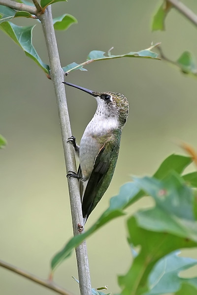 Ruby-throated Hummingbird - Enjoy them while they're around; by early fall they're bound for Central America, with many crossing the Gulf of Mexico in a single flight.