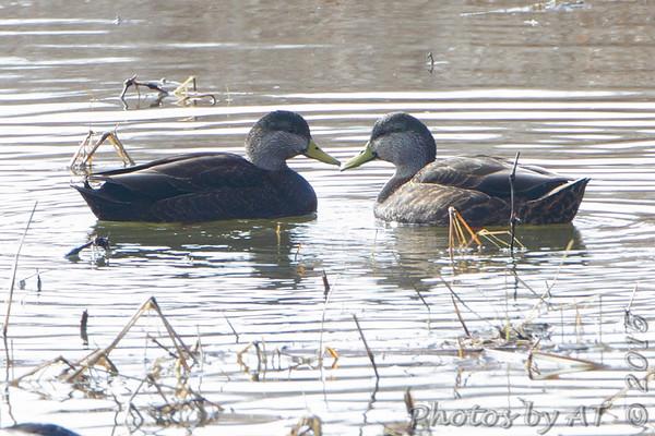 2015-01-23 Riverlands Migratory Bird Sanctuary