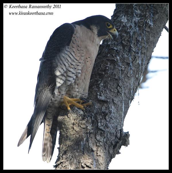 Peregrine Falcon, La Jolla Cove, San Diego County, California, December 2011