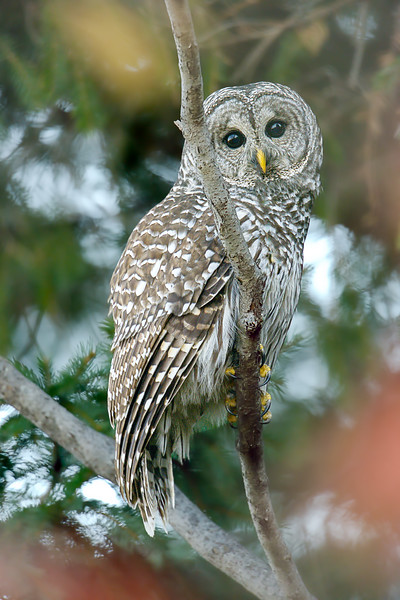 Barred-owls