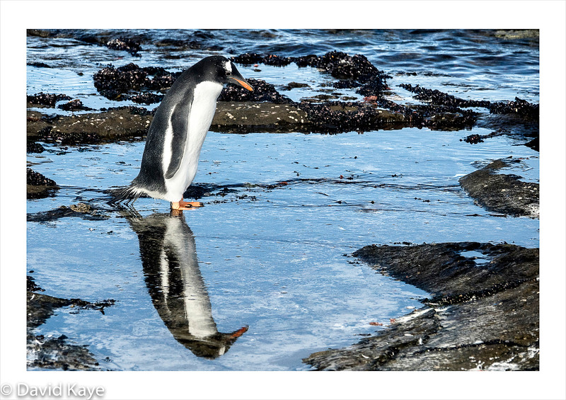 Saunders Island, north-west Falkland Islands : The island has only 4 residents and colonies of Gentoo and King penguins.  This is a Gentoo penguin.