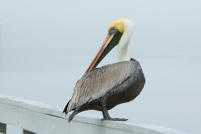 Pelican - Brown - St. Joe's Peninsular State Park, FL - 02