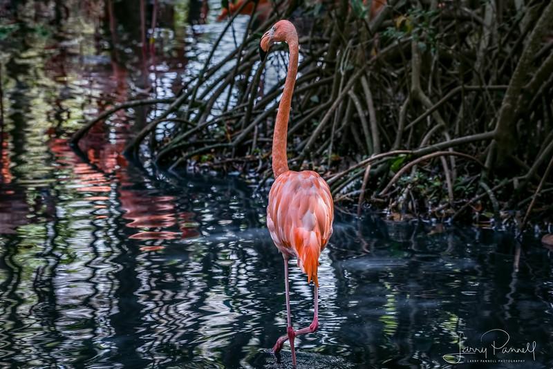 American Flamingo - Colombia