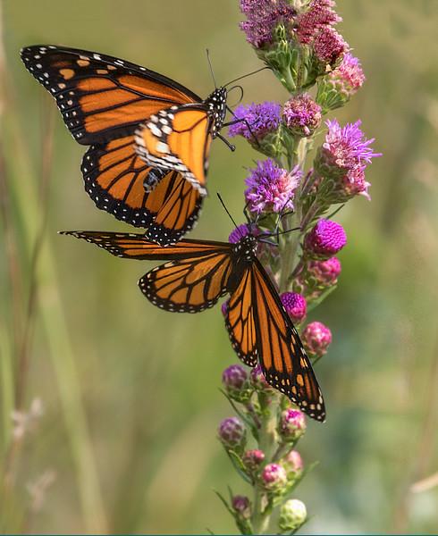 butterfly wisconn.jpg
