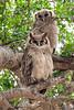 Verreaux's Eagle Owl with Juvenile