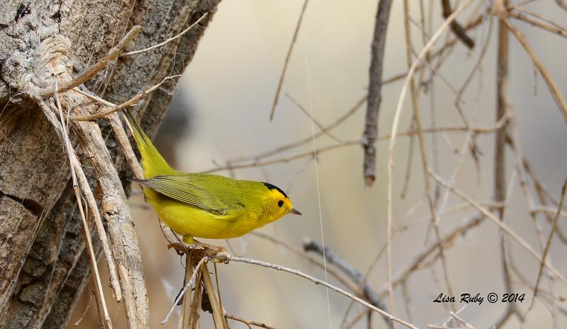 Wilson's Warbler -  4/19/2014 - San Pedro Riparian Conservation Area, Sierra Vista, Az