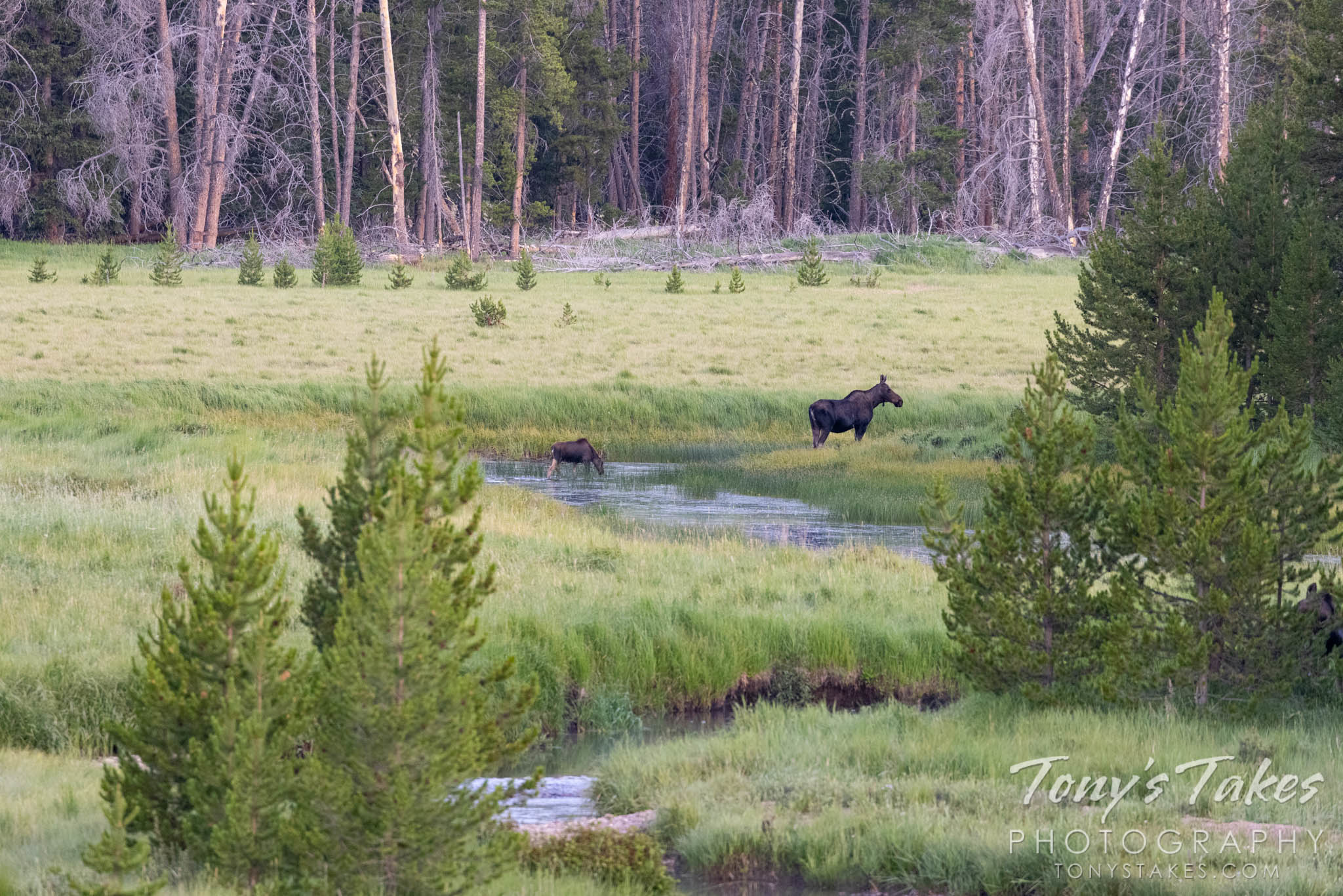 Moose cow and calf. Canon R5, Canon EF 100-400mm f/4.5-5.6L IS II USM @ 400mm, 1/400, f/8, ISO 4000.