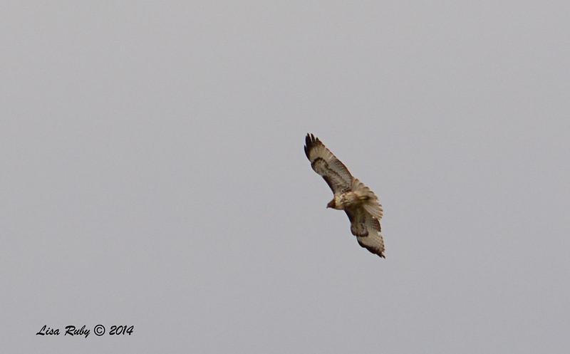 Red-tailed Hawk (maybe light morph?)- 11/30/2014 - San Jacinto Wildlife Area