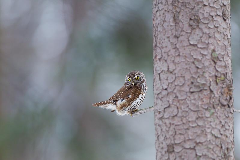 #Sóweczka #Pygmy owl #Michał Piekarski.jpg