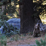Cub, waiting for her bear mother, Sequoia National park, California, USA