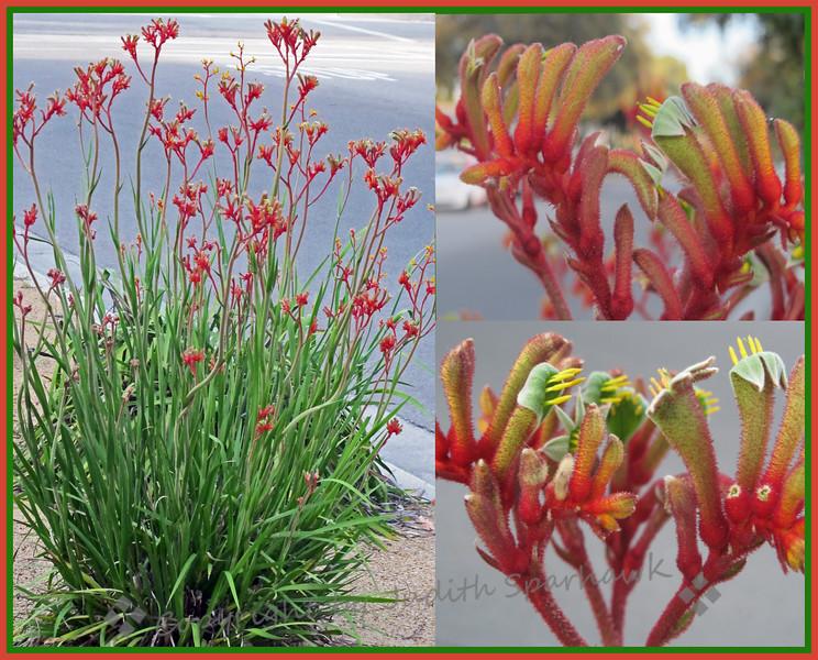 Mystery Plant - Judith Sparhawk       --   Mystery Solved!  Velvet Amber