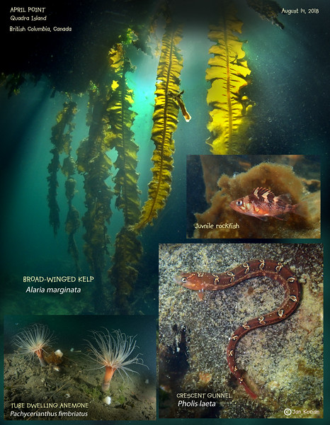 8.14.18 April Pt kelp critters .jpg