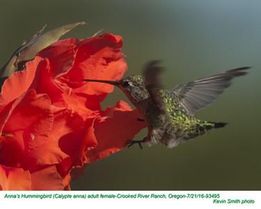 Anna's Hummingbird F93495.jpg