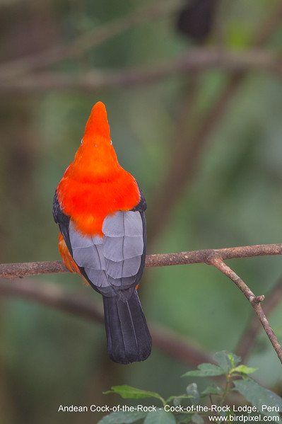 Andean Cock-of-the-Rock - Cock-of-the-Rock Lodge, Peru
