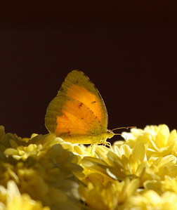 Sleepy Orange Butterfly