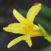 A yellow lily a few feet away.