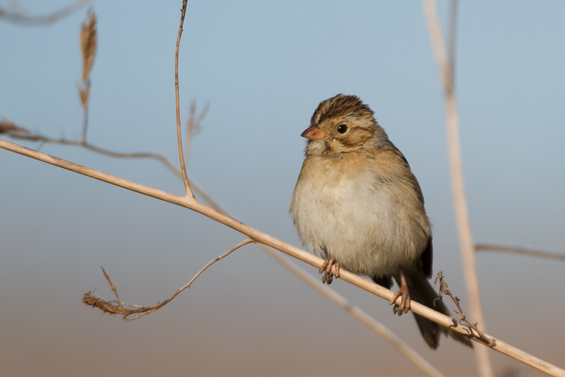 Clay-colored Sparrow, Byxbee Park, Palo Alto, CA, USA