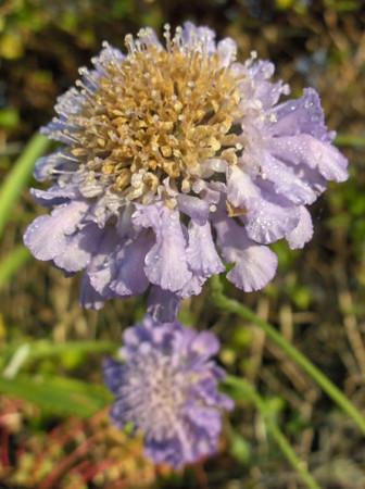 Scabiosa columbaria 'Butterfly Blue'.jpg