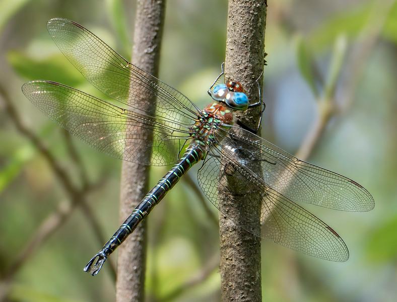 Male, Blackbird State Forest, DE