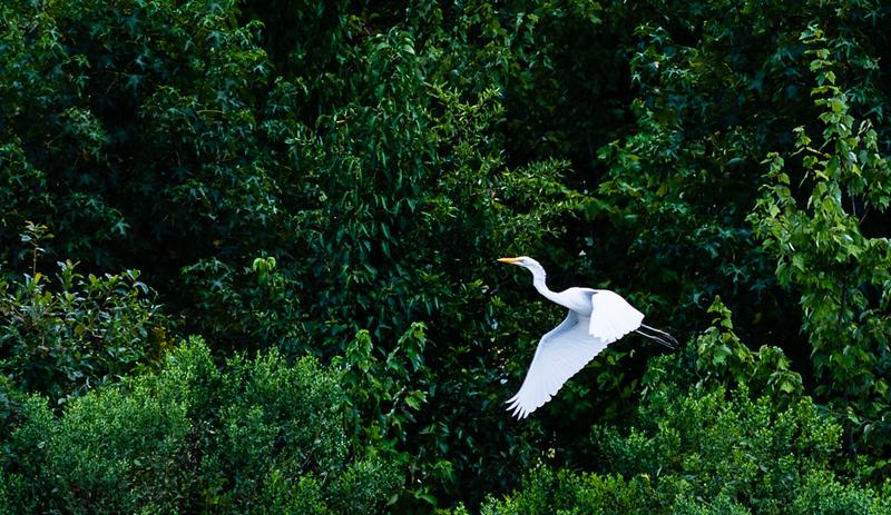 21 Landing Egret