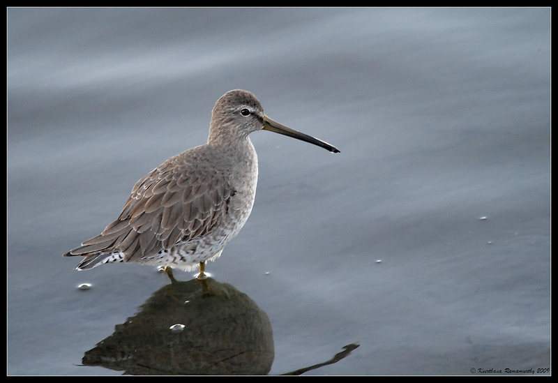 Short-Billed Dowitcher, Robb Field, San Diego County, California, January 2009