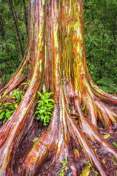 Rainbow Eucalyptus Tree, Maui, Hawaii