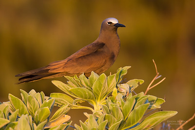 Brown Noddy (Anous stolidus)