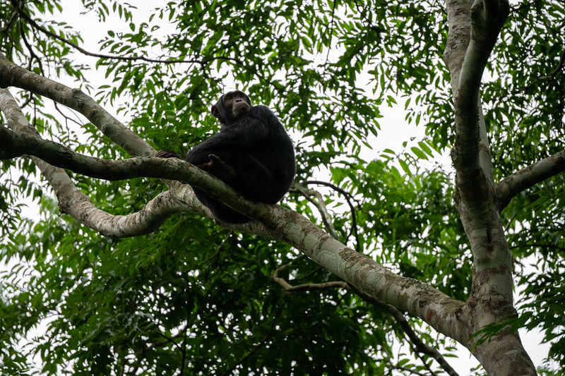 Uganda_T_Chimps-892.jpg