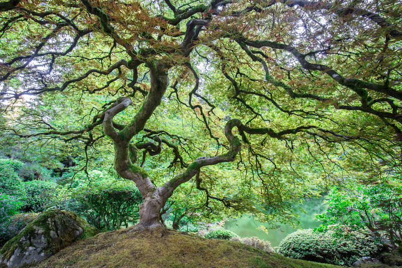 Famous Japanese Maple Photograph.jpg