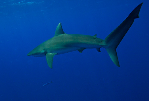 sharks old