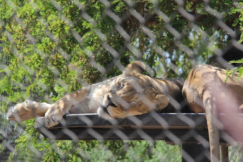 20170807-068 - San Diego Zoo - Lions.JPG