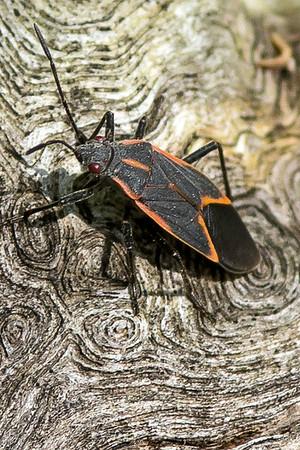 Eastern Boxwelder Bugs