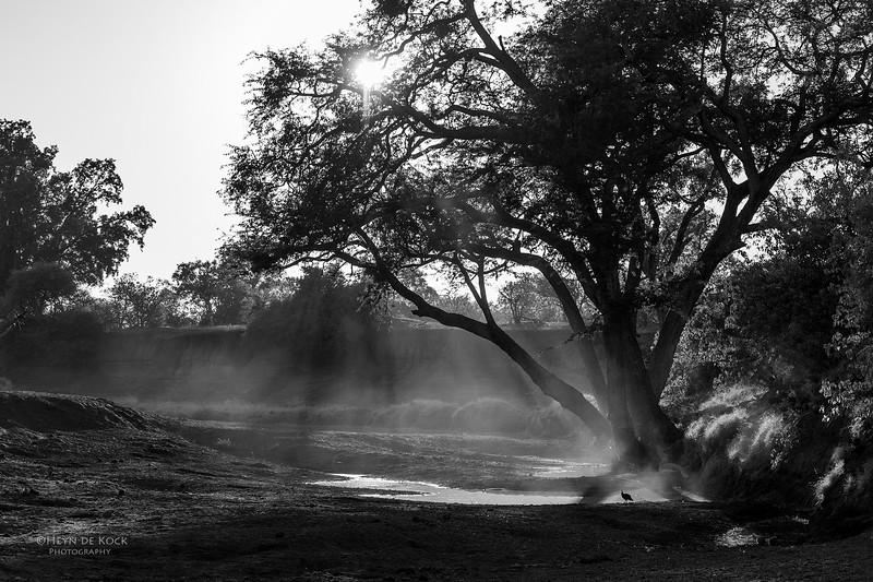 Helmeted Guineafowl, b&w, Mashatu GR, Botswana, May 2017-1a.jpg
