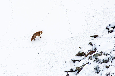 The Foxes of Crag Lough