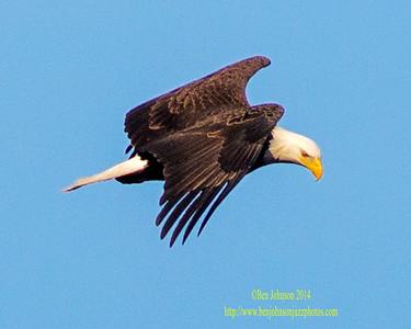 Bald Eagles Conowingo Dam December 2014