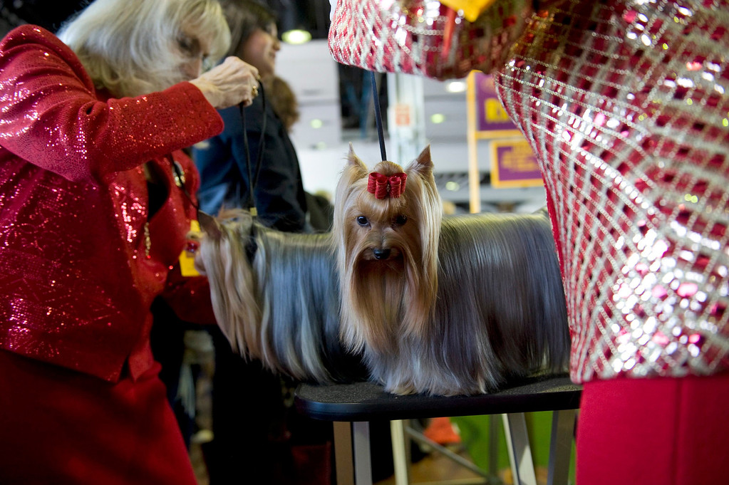 . Yorkshire Terriers go through last minute prepping during the first day of the 138th Westminster Kennel Club Dog Show in New York, New York, USA, 10 February 2014. The annual dog show, which features dogs from all over the United States and around the world, is taking place from 10 to 11 February 2014.  EPA/STEPHEN CHERNIN