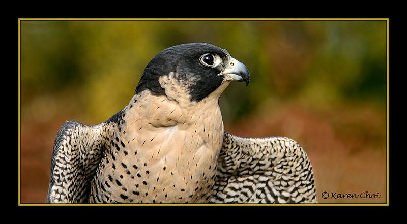 falcon side portrait sm.jpg