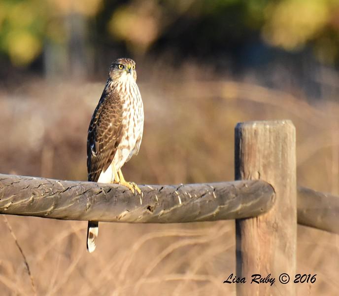 Immature Cooper's Hawk  - 11/2/2016 - Lake Hodges Bernardo Bay