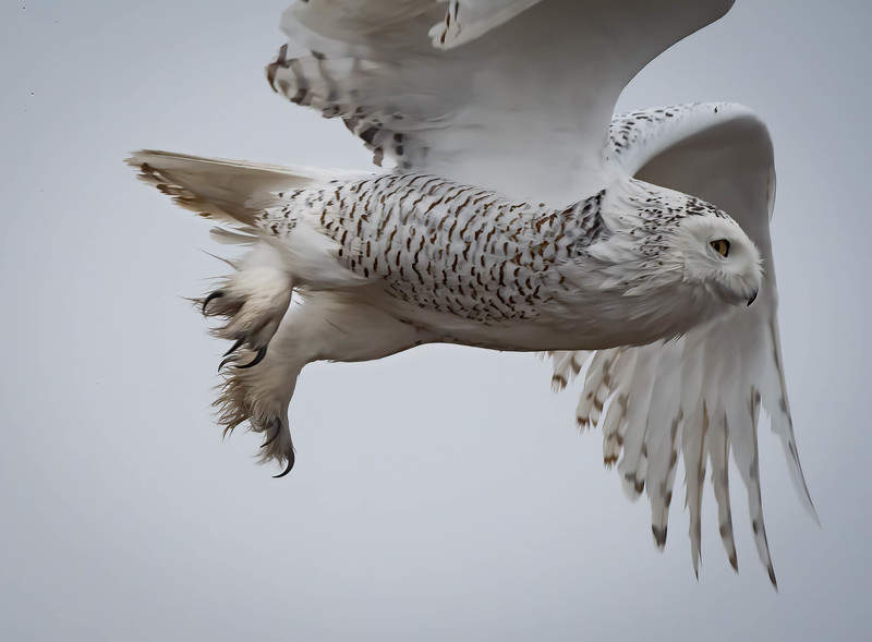 Snowy Owl close fly by